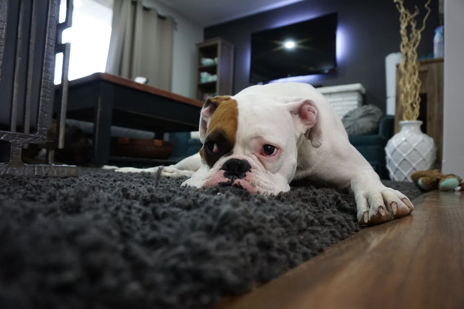 Dating With Pets puppy lying on the floor