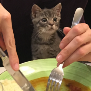 How to Feed Your Cat for a healthy diet -  kitten looking at a plate with food