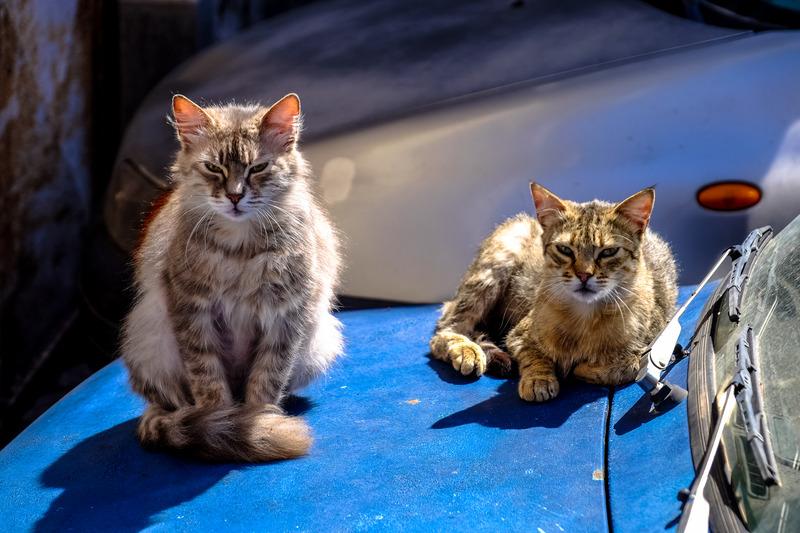 pure breed vs mixed breed cats