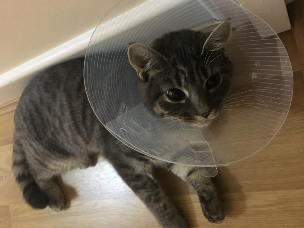 Cat after spaying