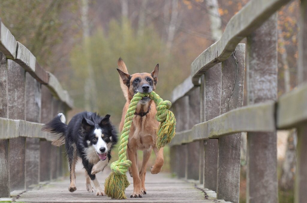 malinois and border collie chasing with rope toy