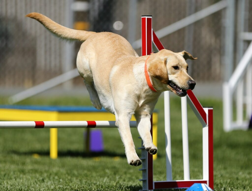 obedience training dog to jump over hurdles