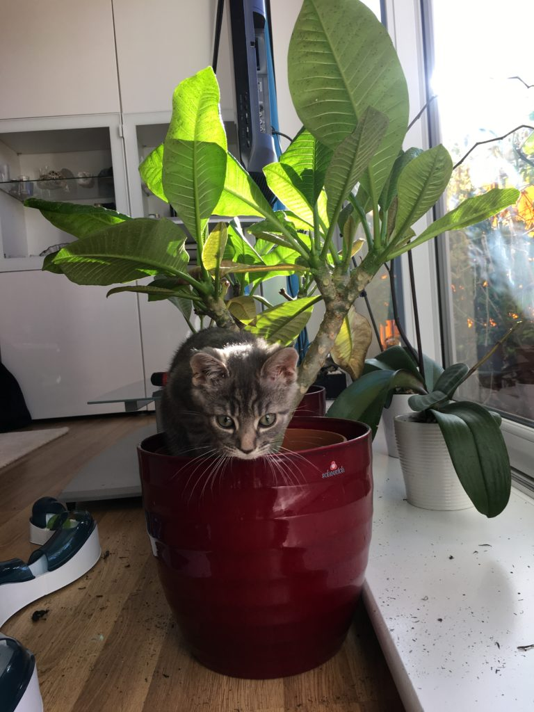 Cat in a house plant frangipani