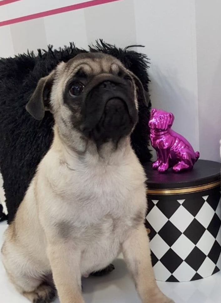 Dog breed - pug
