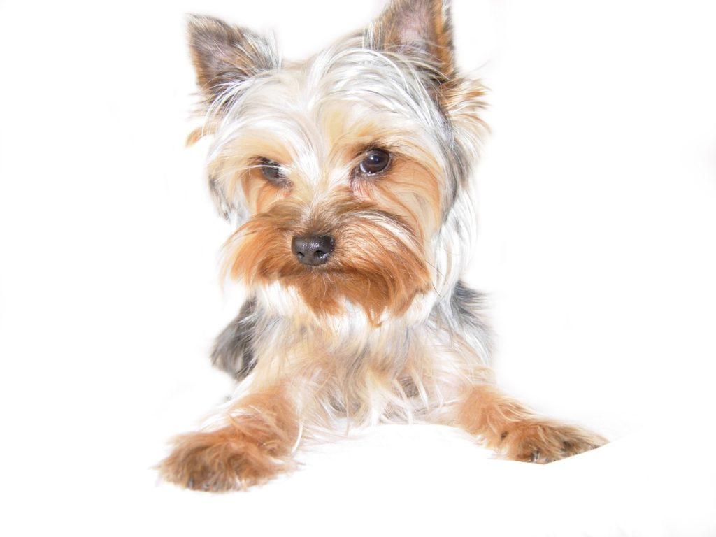 dog breeds - Yorkie