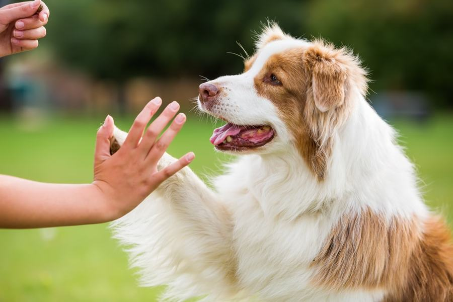 Dog high five with owner