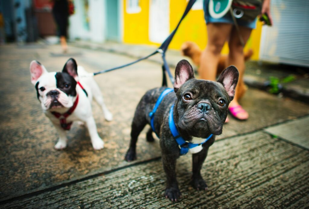 two pug dogs with leash and harness