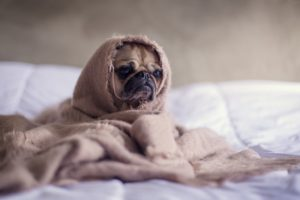 Dog allergies - sick pug dog
