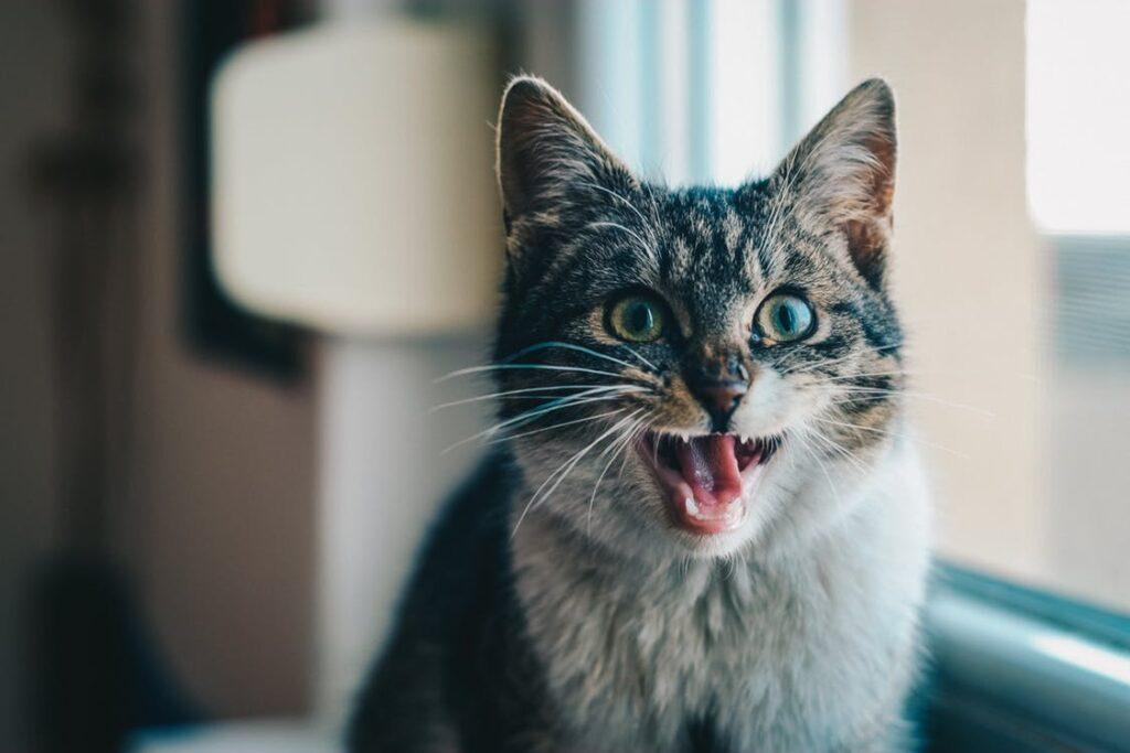 Cat meowing para comunicar com o dono