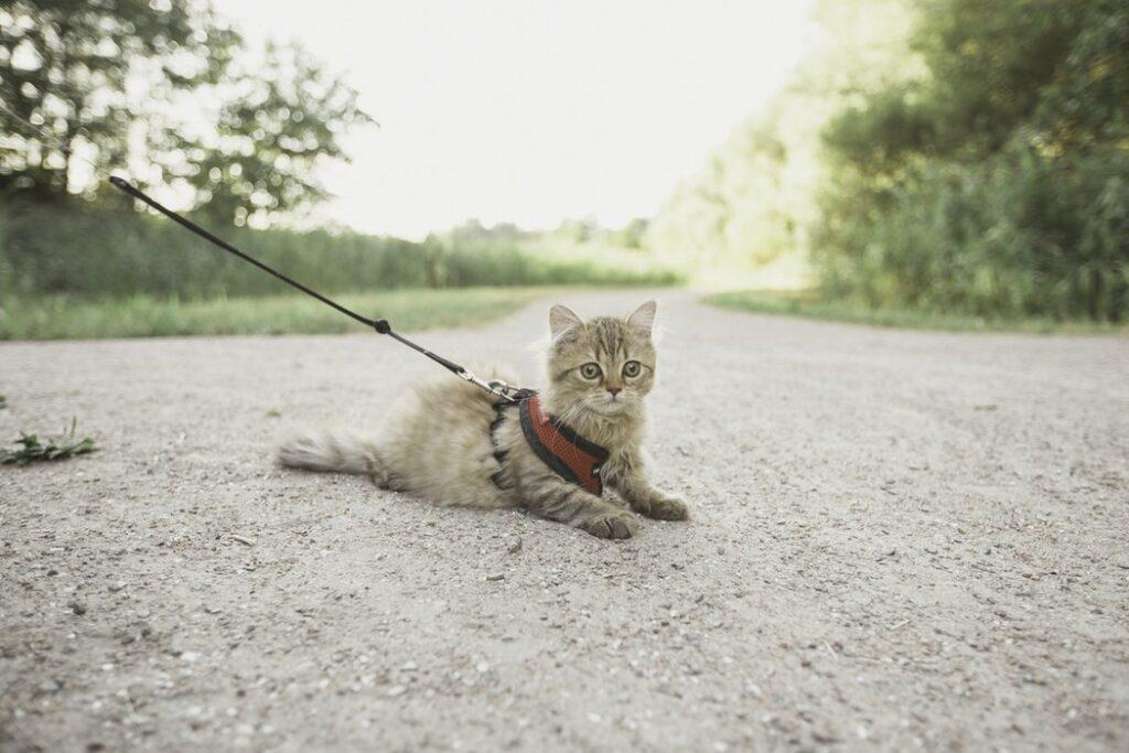 Mishi pets - Cat on a leash