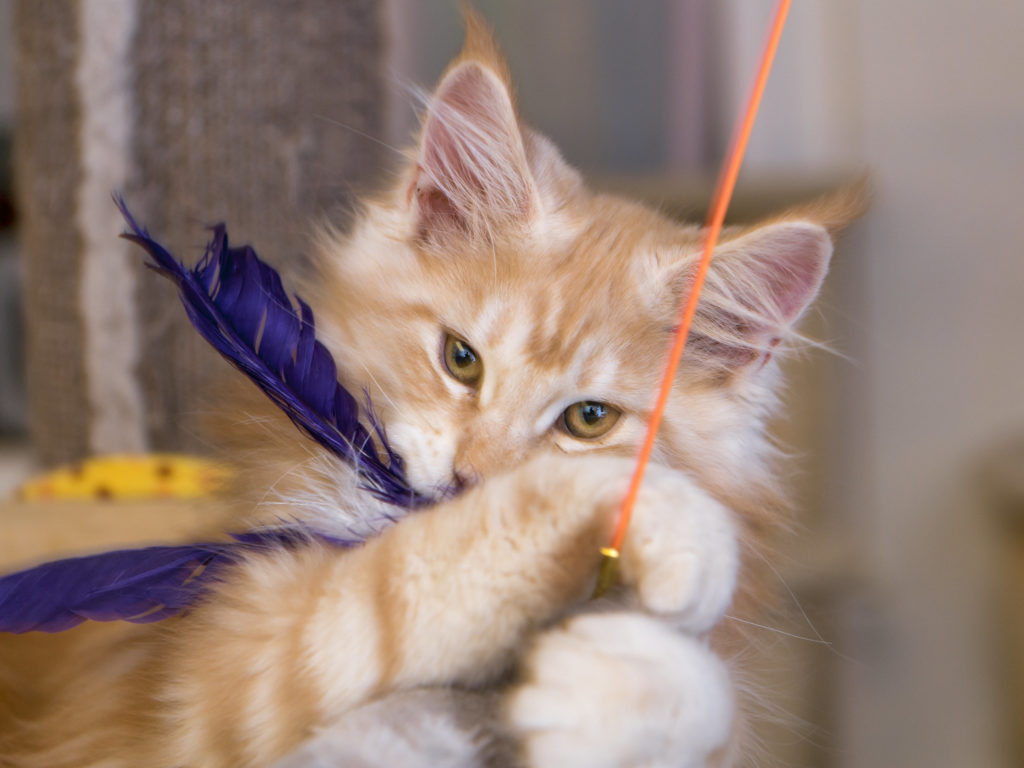 cat with a string toy