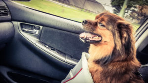 dog in a car front seat - brown dog