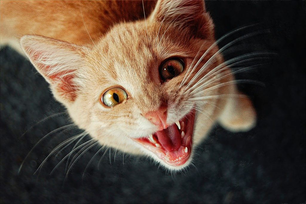 kitten meowing hungry
