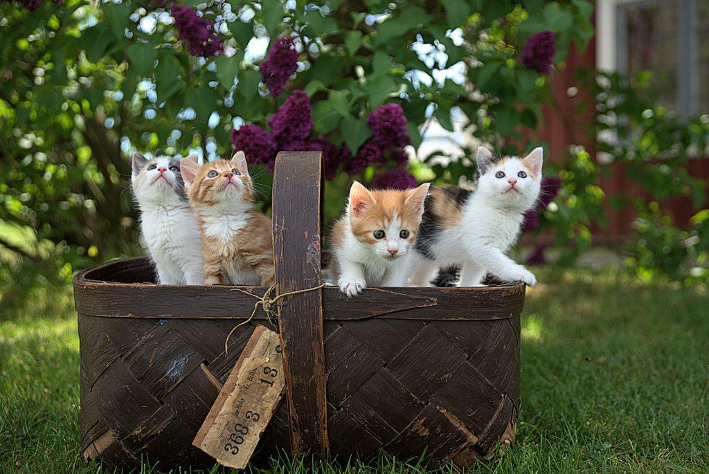 Tabby kittens in a basket