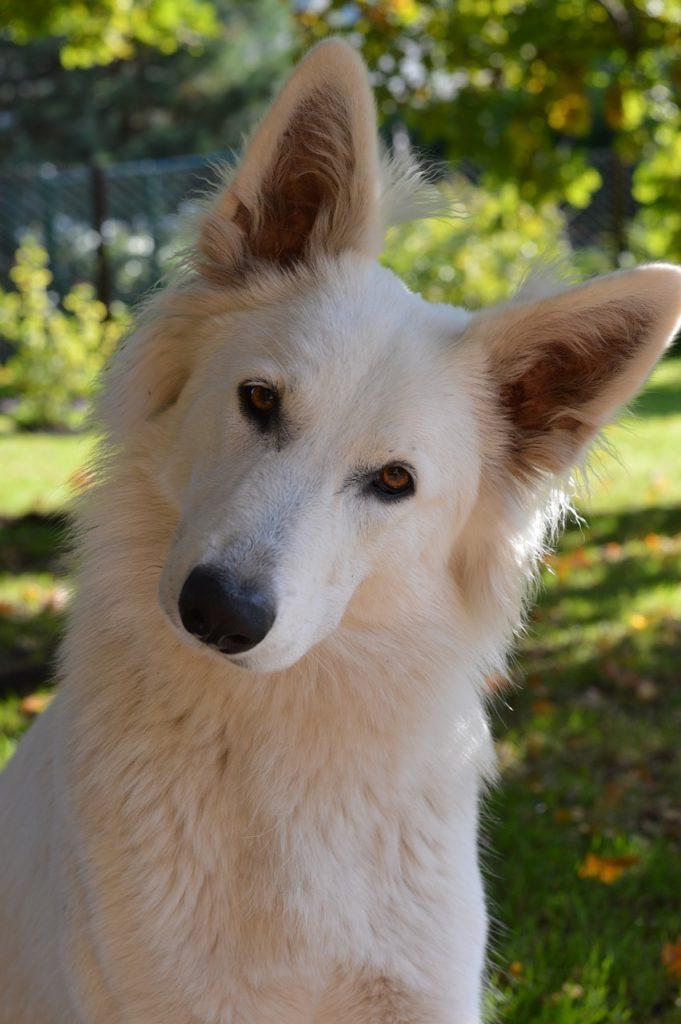 swiss white shepherd dog tilts head