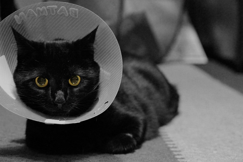 The advantages of having an indoor cat - Indoor Cat with a cone