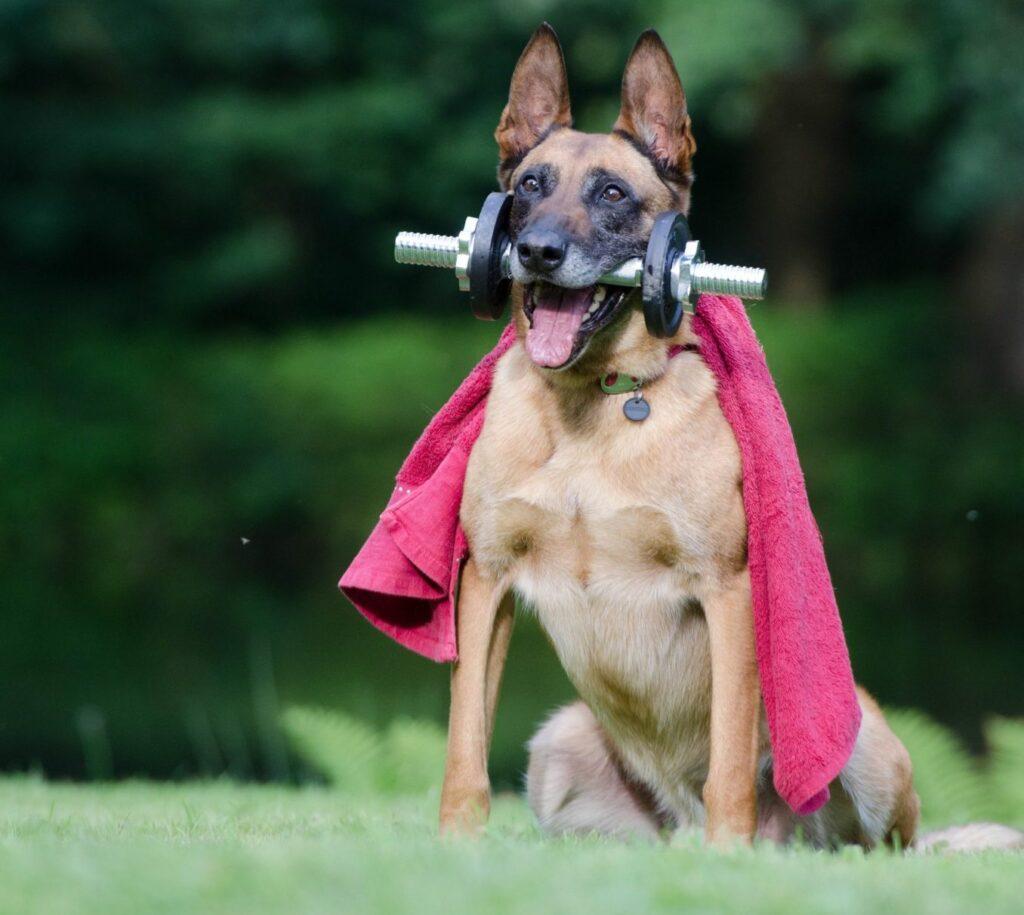 belgian shepherd dog with dumbbells between his teeth