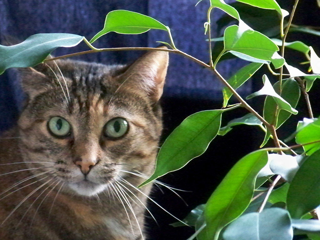 Cat and a cat friendly plant ficus
