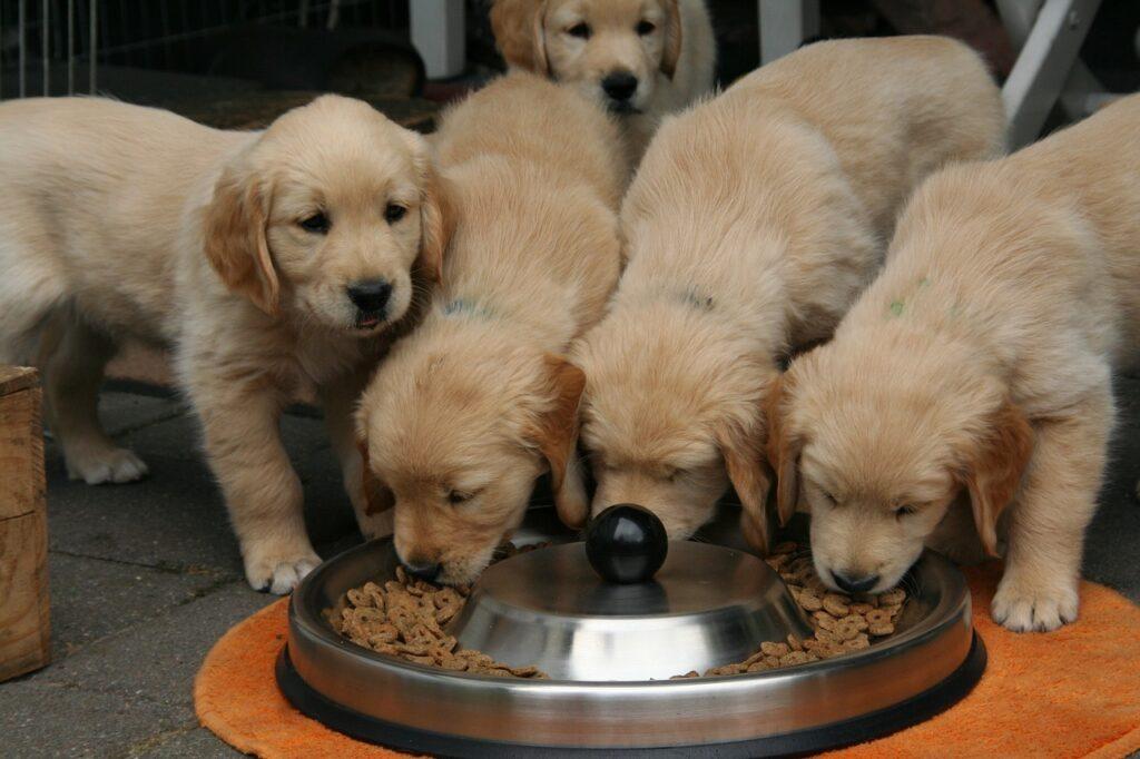 golden retriever puppy eating