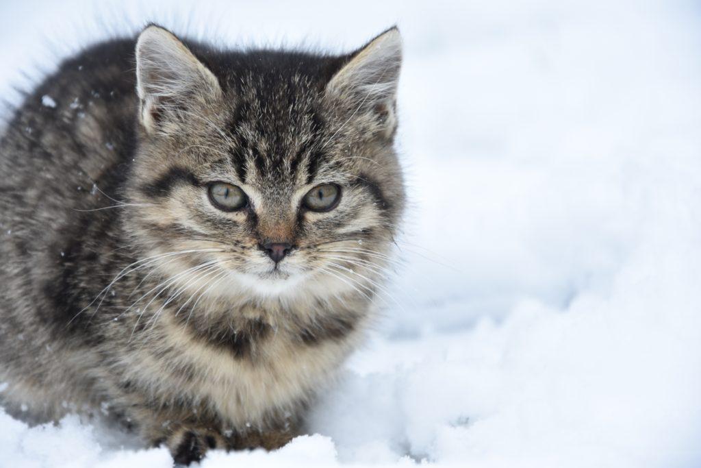 grey kitten in the snow