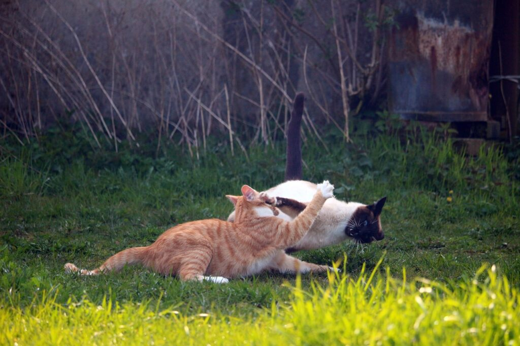 The advantages of having an indoor cat - orange and siamese cats fighting
