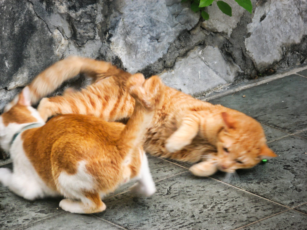 The advantages of having an indoor cat - orange cats fighting
