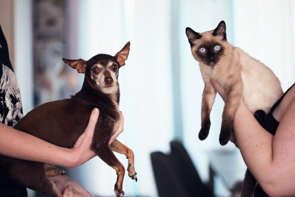 pinscher dog and a siamese cat