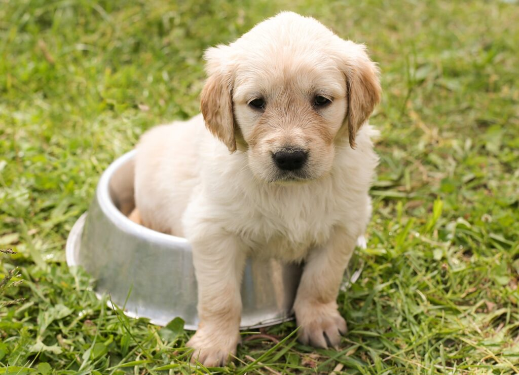 puppy golden retriever dog in a dog feeding bowl