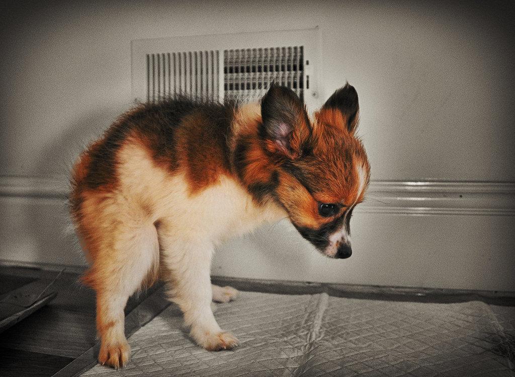 puppy potty training on training pads