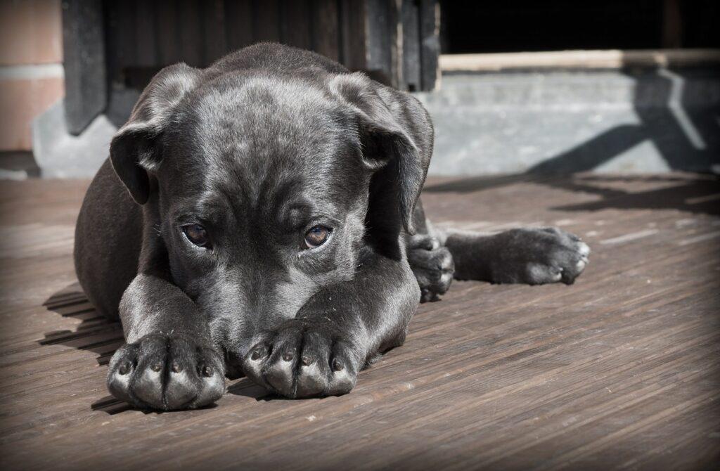shy black lab puppy