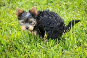 yorkie puppy pooping