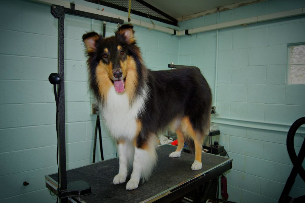 collie dog on the grooming table