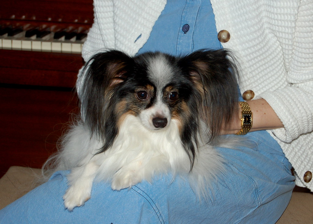 Papillon dog ears after dog grooming