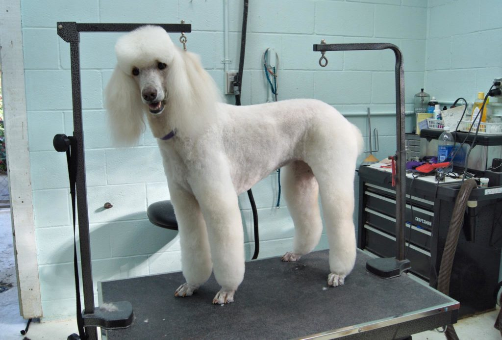 poodle dog on the grooming table