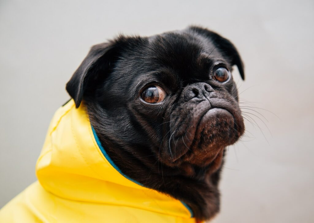 pug dog in a raincoat