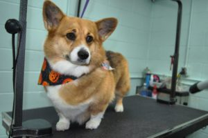 welsh corgi dog on the grooming table after grooming