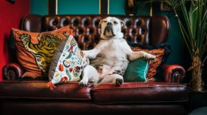 Fat dog - dog sitting on the sofa like a human
