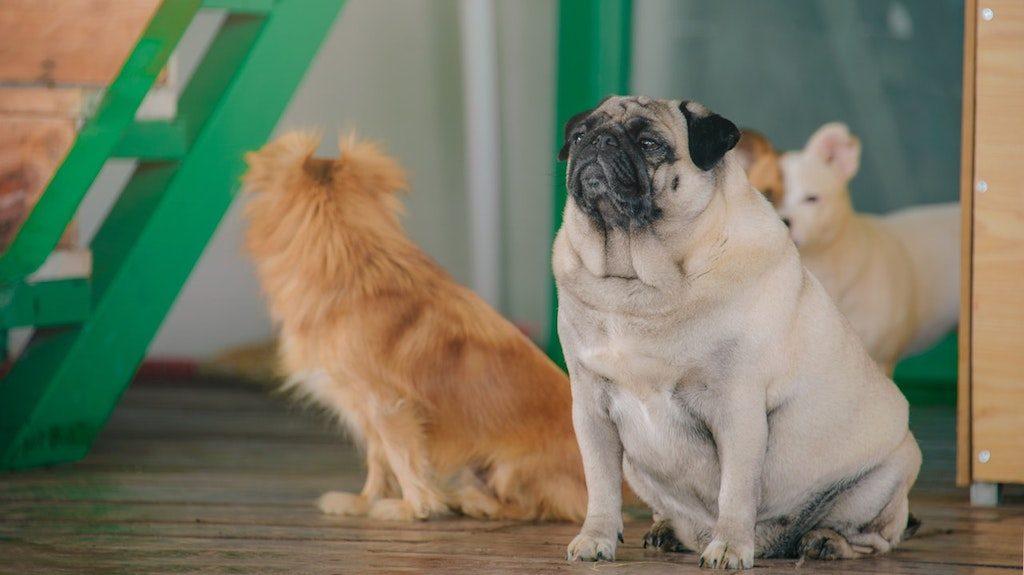 fat dog - overweight pug