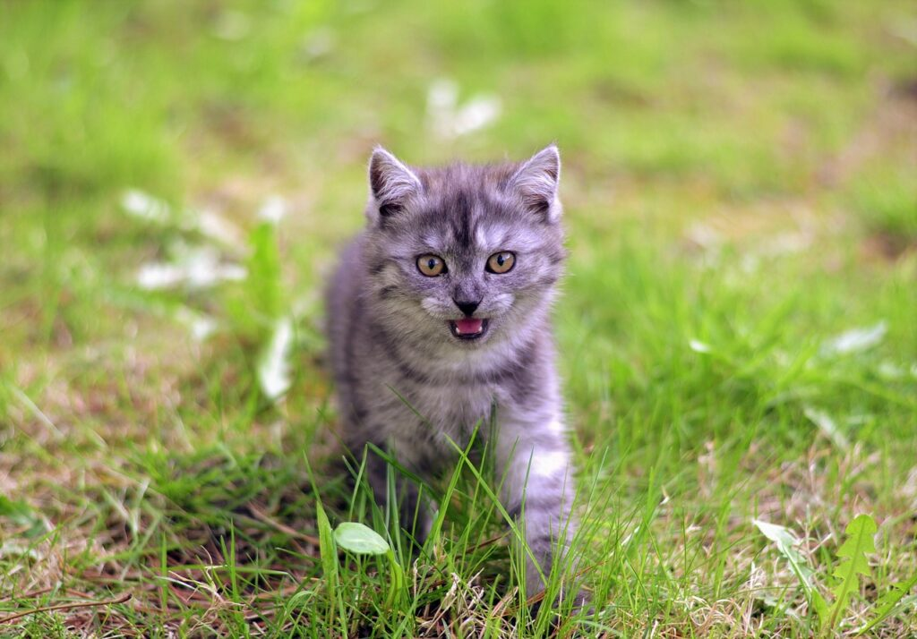 kitten meowing in the grass