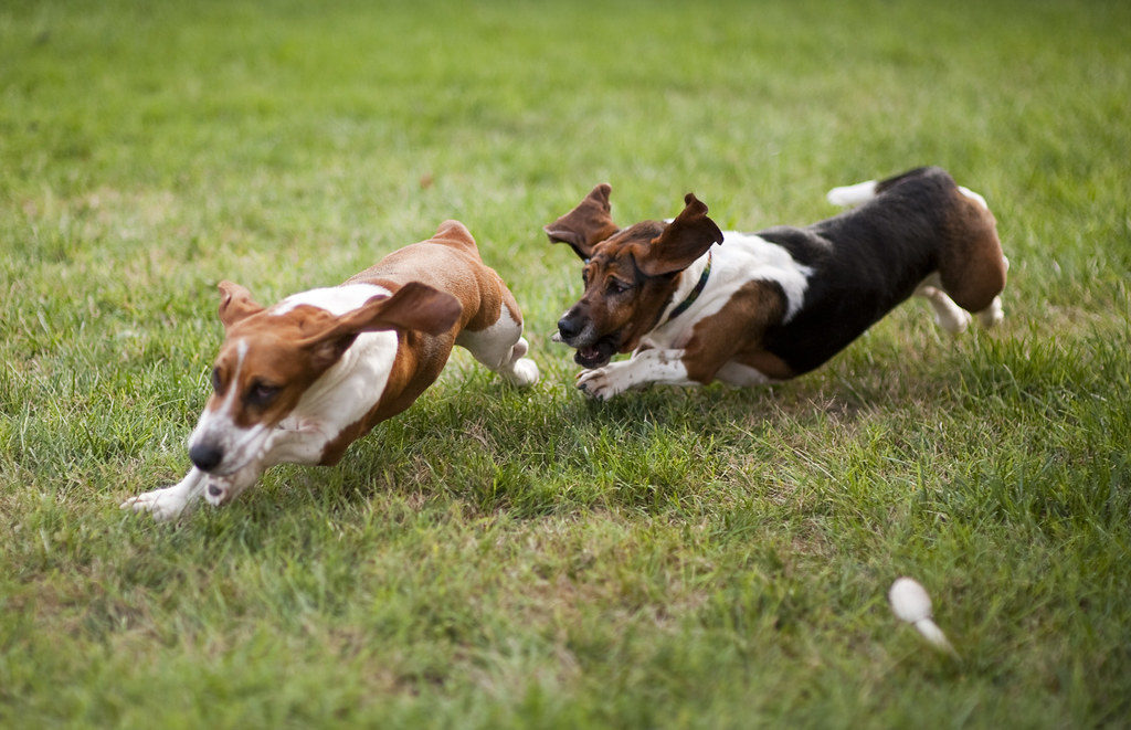 two basset hound dogs playing