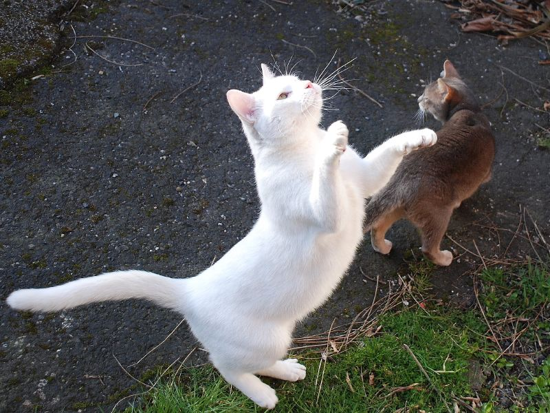white cat on hind legs