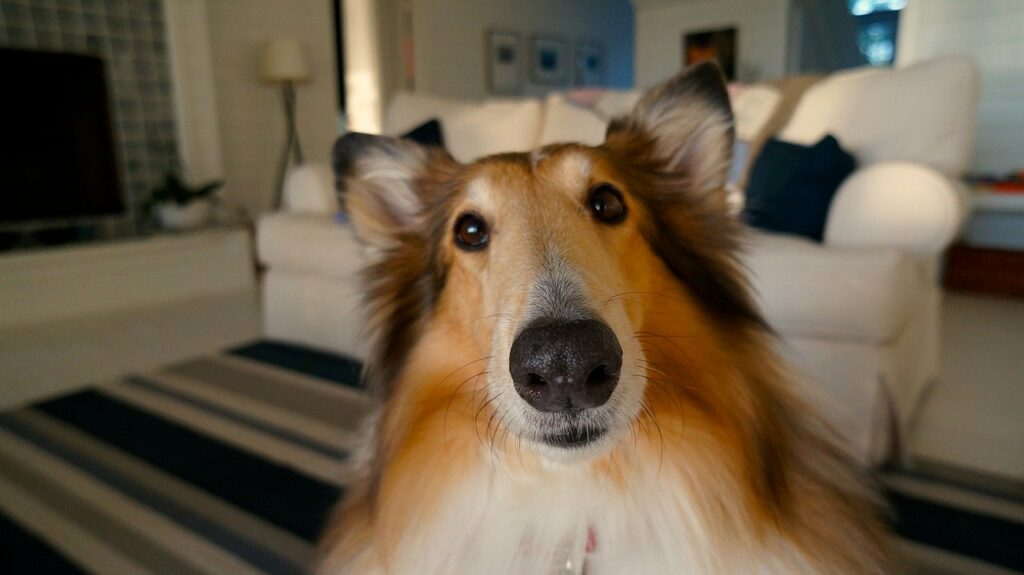 how to avoid spoiling your dog - collie