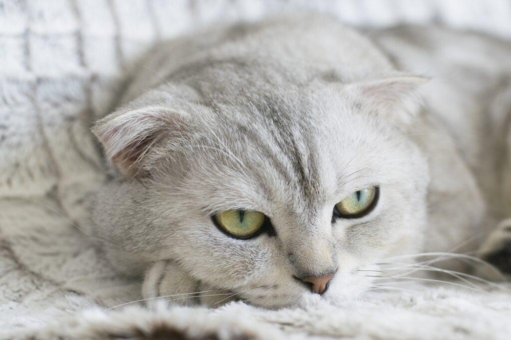Best cat breeds for seniors - Scottish fold