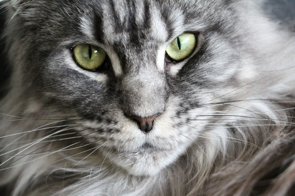 The Best Cat Breeds for Children and Babies - - maine coon