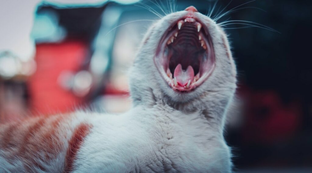 Dental Problems with Cats
