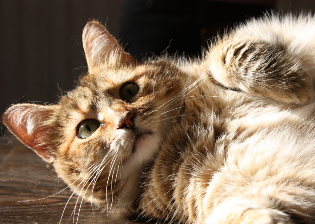Controlling Your Cat's Weight – Keeping Your Pet Healthy