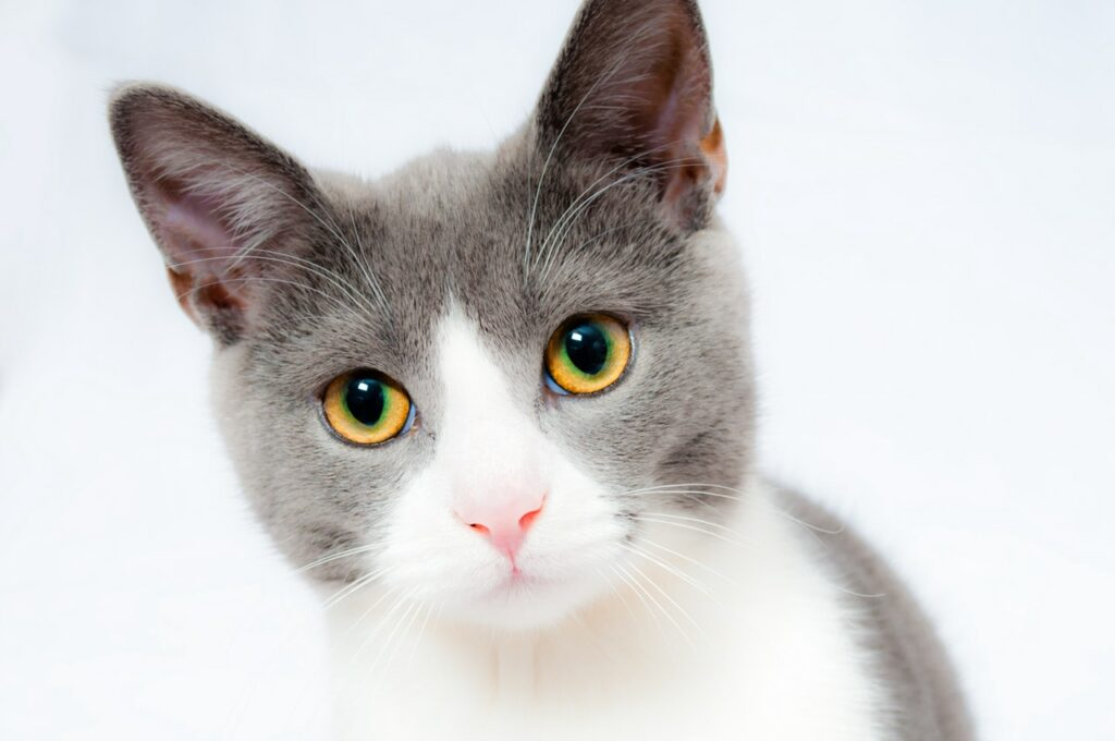 Convince to get a cat