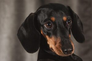 Dachshund - Best dog breeds for small apartments