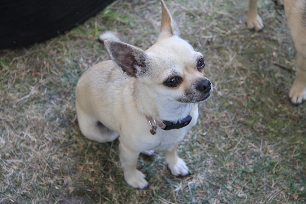 Fearless chihuahua miniature dog breed
