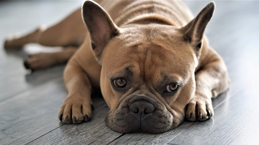 French Bulldog - Best dog breeds for small apartments